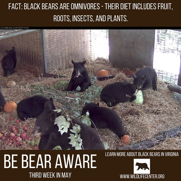 Bears in Crozet - Thanks to Wildlife Center of Virginia for the image